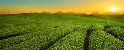 Large Tea Field