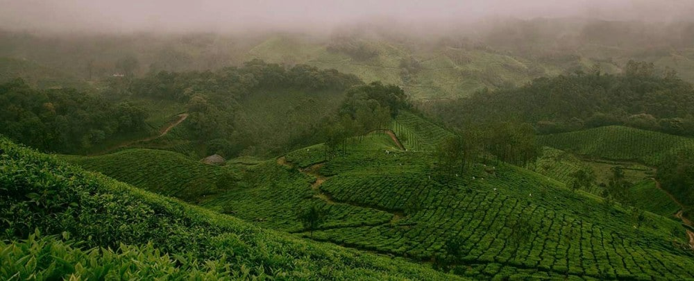 A NATURAL APROACH TO GROWING TEA